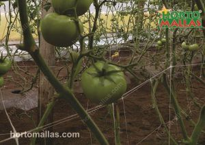 tomato harvest in cropfield with support net
