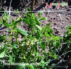 La Red SOG MALLAJUANA® fijada a una estructura, permite mantener las plantas erectas y cultivar con una intensidad mayor.