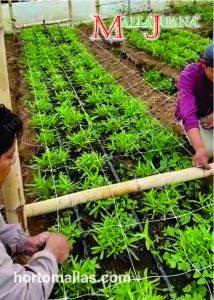 """El método SOG o """"Mar de verde"""" consiste en poner muchas plantas pequeñas en cada metro cuadrado."""