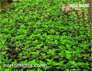 A malha/rede SOG é utlizada eficazmente como parte do método Sea of Green em cultivos de cânhamo.