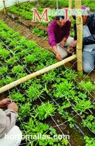 Ahorra en agroquímicos, mano de obra y electricidad, al entutorar con el método screen-of-green.
