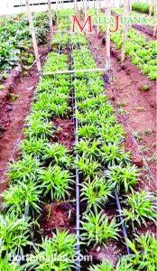 La malla SCROG soporta las plantas y las conduce a una expansión horizontal sin dañar los tallos.