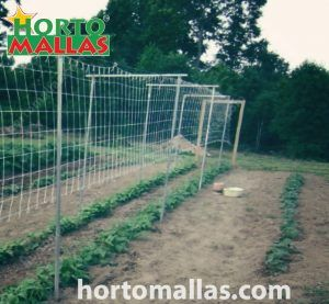 beginning of the crop for a cucumber trellis