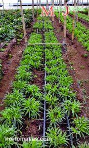 MallaJuana favorecer el desarrollo horizontal, mantiene las plantas separadas y ordenadas, dejando pasar un buen flujo de aire a través del follaje, gracias a la tecnica SCROG