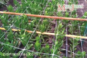 MALLAJUANA Scrog net is the perfect support for your plant.