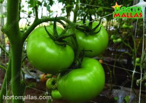 tomato plant with hortomallas support net