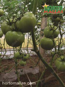 tomato trellis support