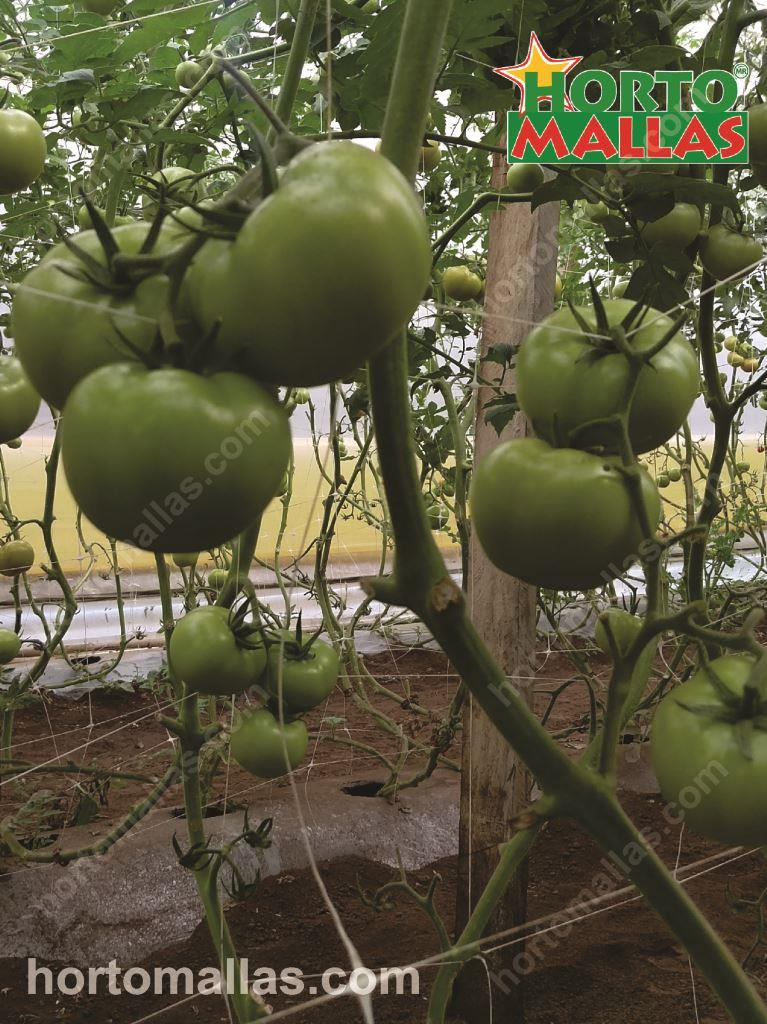 Why Using Tomato Trellis Is The Best Option