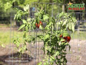 tomato plant inside of cage