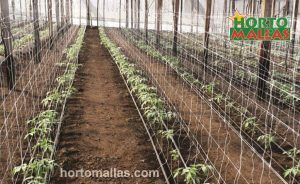 double row of trellis netting in greenhouse tomatoes