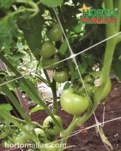 tomatoes trellised with plastic or nylon netting