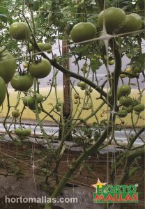 Training tomatoes inside a greenhouse, using the double wall of netting method of trellising.