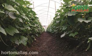 cropfield in greenhouse using support net