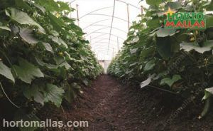 Plant net mesh in cucumbers inside a greenhouse