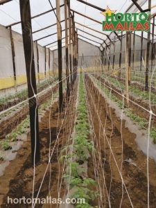 a row long picture of how the double wall of netting is placed for tomato training inside a greenhouse.