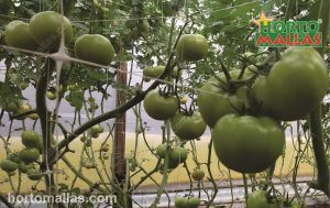 tomato crops tutoring by hortomallas support net