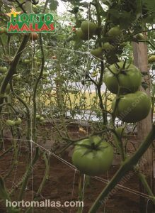 Training indeterminate tomatoes with netting inside a greenhouse is done guiding the plant diagonally.