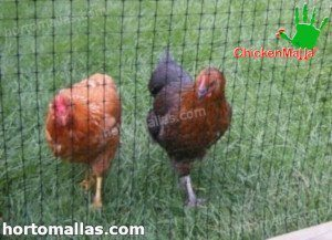 chickenmalla net protecting hens