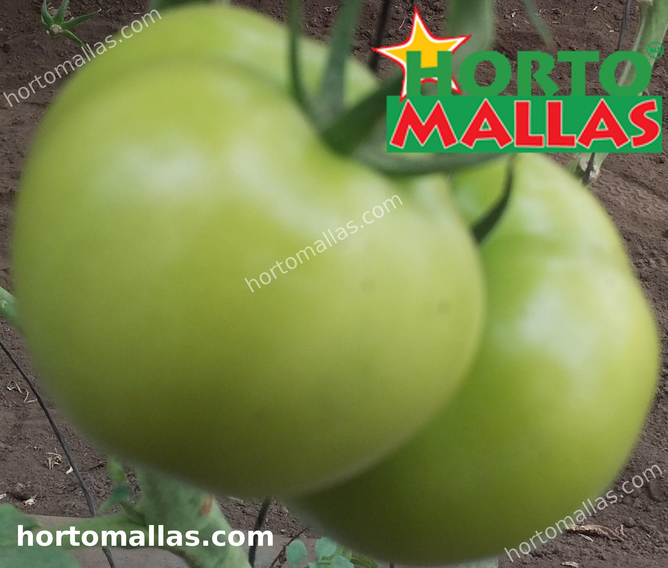 culturas de tomate usando rede de apoio vertical