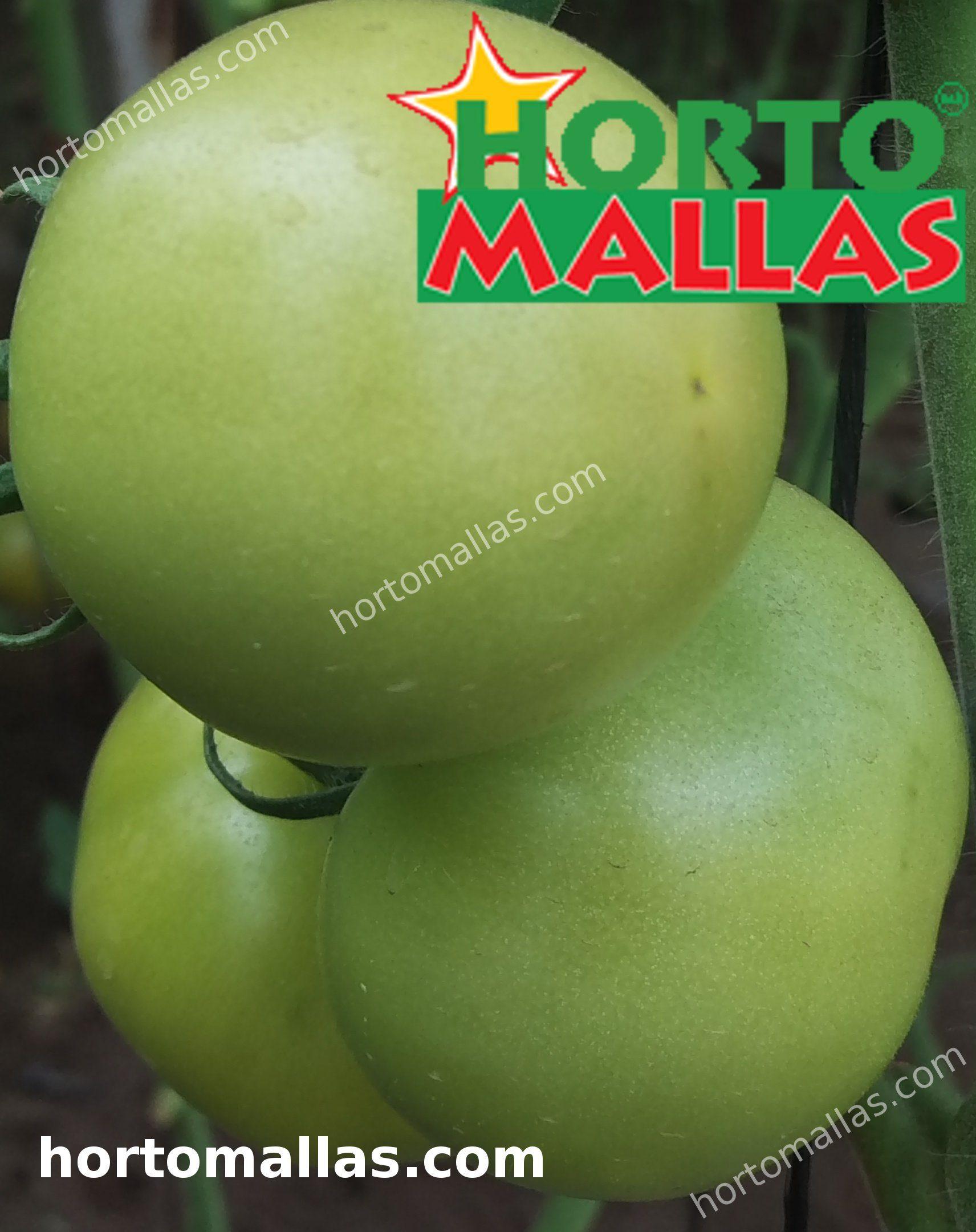 planta de tomate usando rede de apoio HORTOMALLAS
