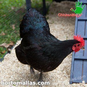 black hens in henhouse