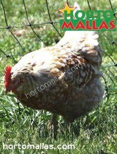 Rearing organic hens