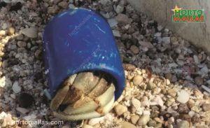 O nome científico do caranguejo eremita é pagurus plastiquensis.