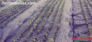 cultivo protegido con cobertura para el suelo MALAHIERBA