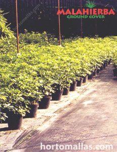 Elimine a vegetação indesejada e incômoda com o tecido Groundcover MALAHIERBA.