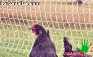 hen inside of hen house