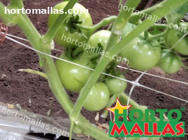 tomato plants using double support net