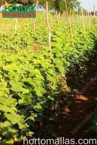 trellis netting on cucumbers