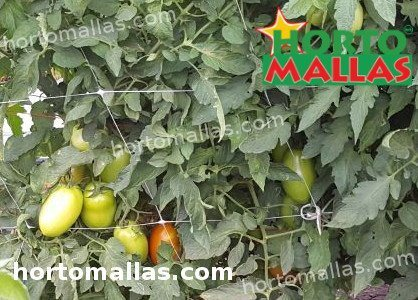 tomato plants tutoring by trellis net