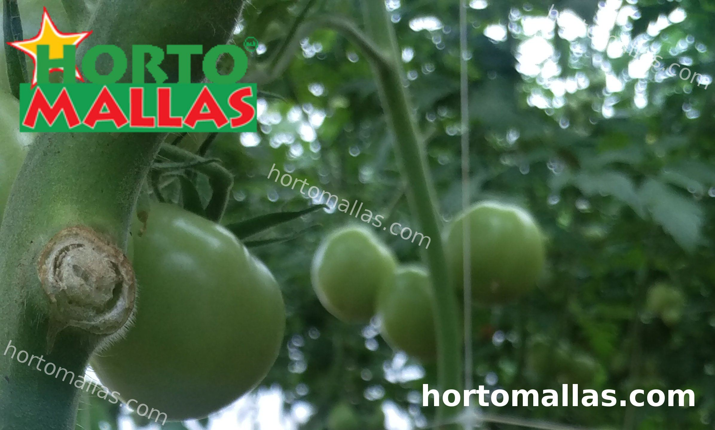 tomato plant with support net