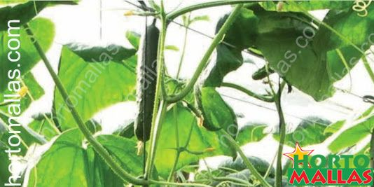 HORTOMALLAS Cucumber trellises are the best way to improve your cucumber crops