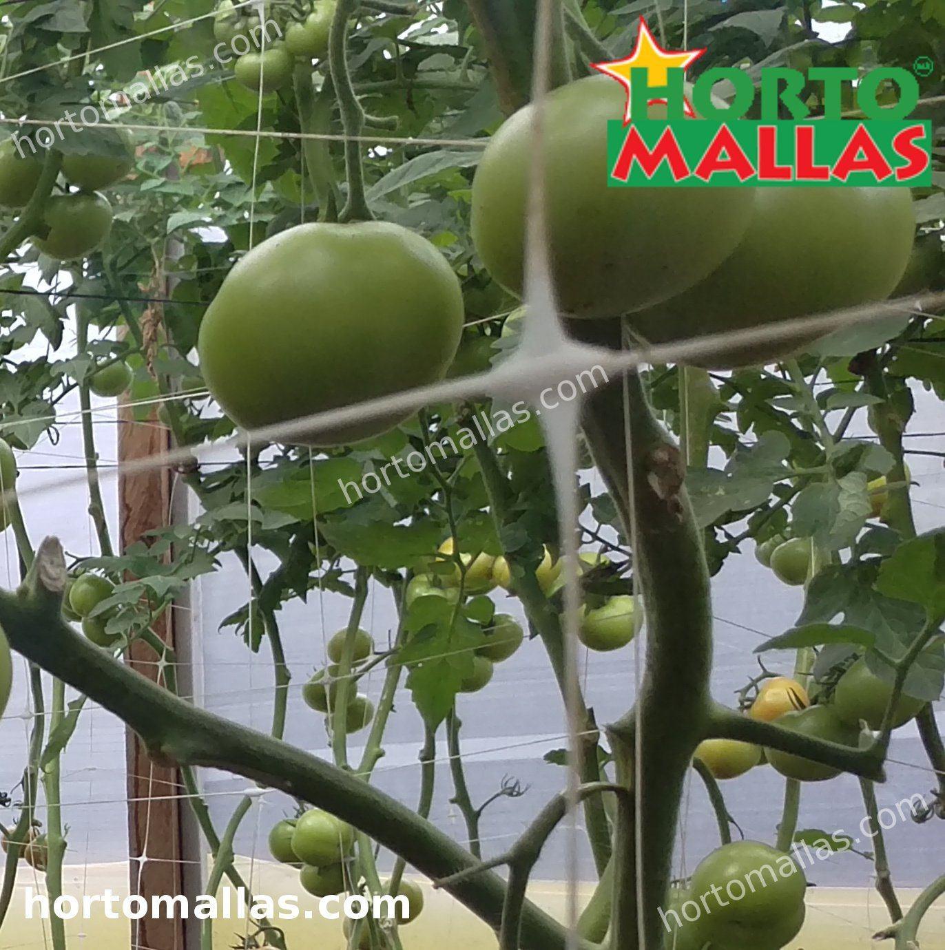 trellis net providing support to tomato crops