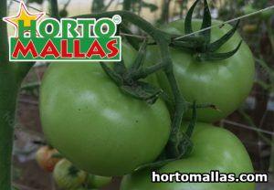 cultivo de tomate en invernadero