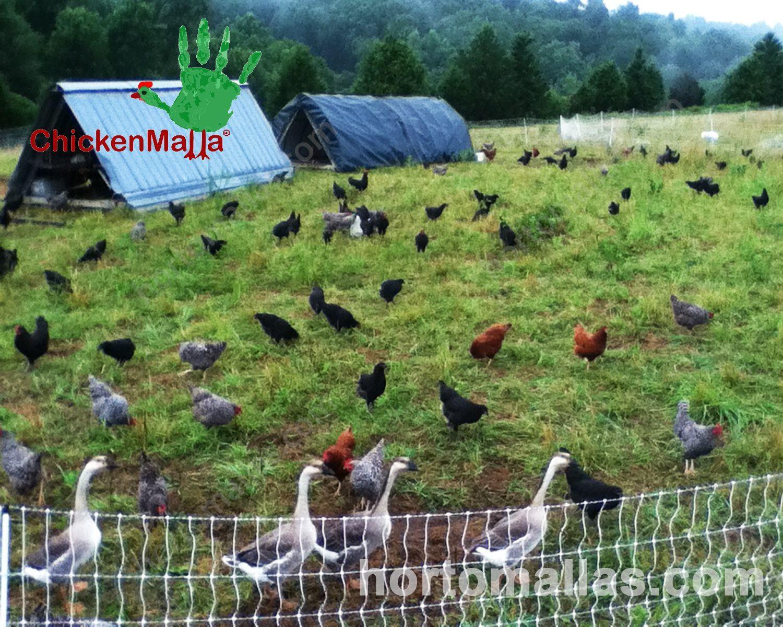 Como establecer un corral de pollos orgánicos y a pequeña escala