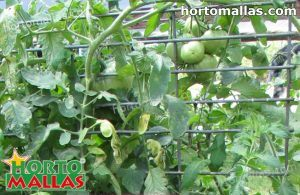 tomato crops using cage like support method