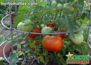 tomato plant using cage