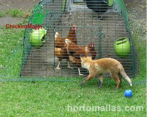 fox trying to enter the chicken tractor