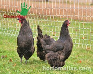 Poultry electric fences are used in grass fed chicken to move them around easily.