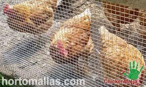 gallinas protegidas con malla pollera