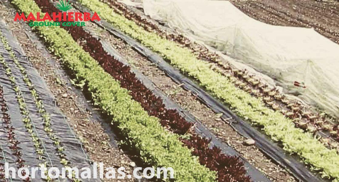 Pode ser observado que este cultivo está sendo protegido das ervas-daninhas com o tecido Groundcover