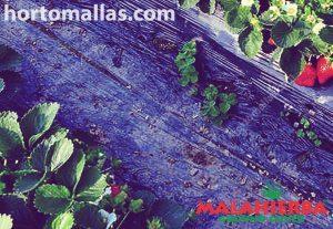 cultivo de fresas con la protección de la tela contra maleza