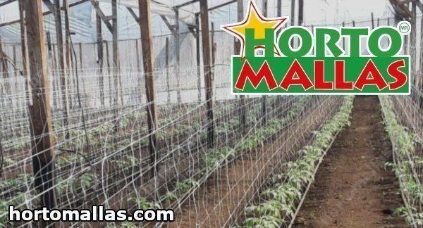 Se as plantas de tomate não forem podadas crescerão ervas-daninhas mais densas e as plantas terão mais probabilidade de contrair doenças fúngicas.