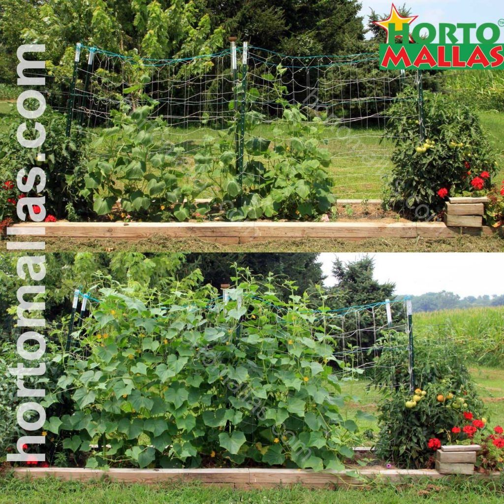 two phases of cucumber growth on a plastic trellis
