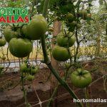 Producción de tomates