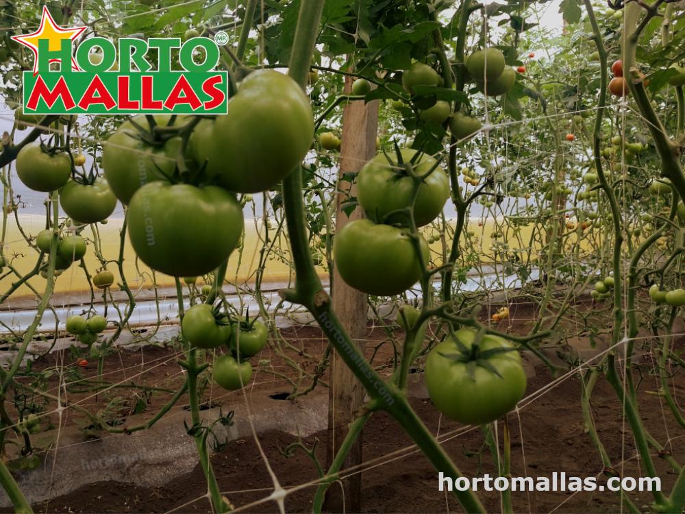 Producción de tomate y sus prácticas en invernaderos.