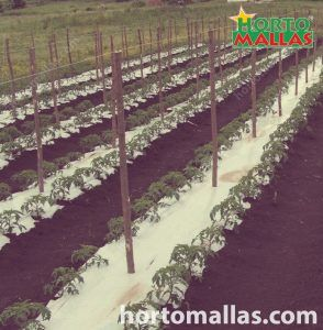 plant stakes on a double row plantation of tomatoes on white mulch film